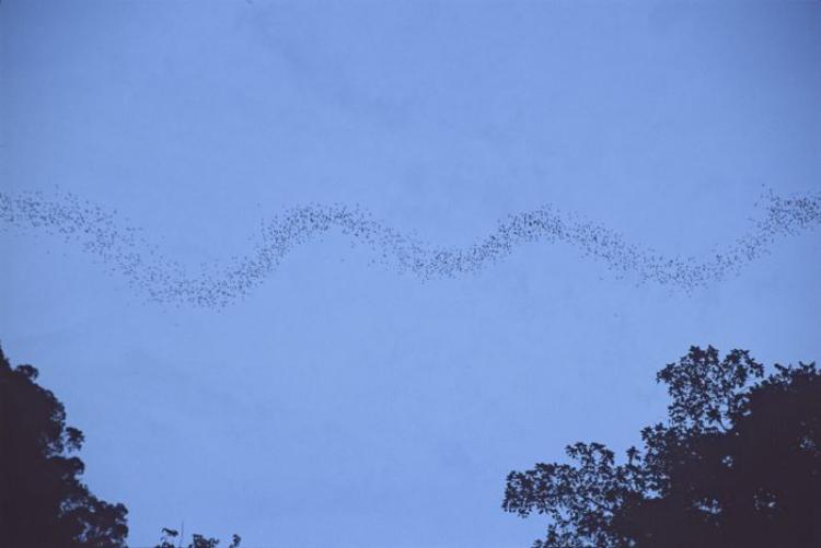 Mulu Bats